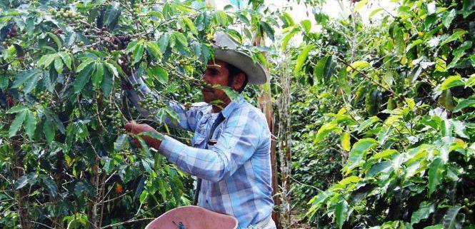 Fasi della crescita e raccolta del caffè